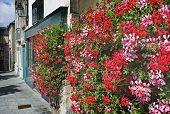Bright, Red Geraniums In Charming, French Breton Village Street.