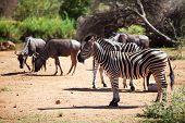 Zebra And Wildebeest Grazing Near A Waterhole