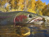 stock photo of trout fishing  - steelhead trout caught on the Boise River - JPG