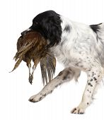 stock photo of bird-dog  - English Springer Spaniel  - JPG