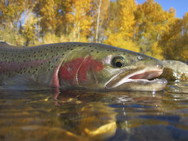 picture of boise  - steelhead trout caught on the Boise River - JPG