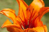Orange Daylily Closeup