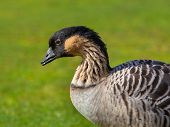 Hawaiian Goose Portrait