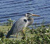 Great Blue Heron (Ardea herodias) Feeding