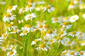 Chamomile Flowers On Meadow