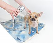 stock photo of chiwawa  - sweet Chihuahua puppy taking shower in bathroom - JPG