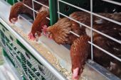 Hens In A Cell At A Feeding Trough