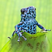 Blue strawberry poison dart frog from the tropical rain forest in Panama. Macro portrait of a colorf