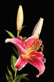 Stargazer Lily Over Black