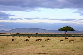 wildebeest herd in the beautiful plains of the Masai Mara reserve in Kenya Africa