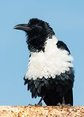 Pied Crow (corvus Albus) Fluffing His Feathers
