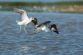 Two Common Greenshanks Playing On Beach
