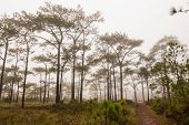 stock photo of pinus  - Treking in the mist through Pinus merkusii pine trees forest on Phu Kradueng national park, Thailand