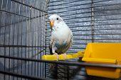 White Wavy Parrot