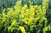 Yellow Flowers Of Galium Verum