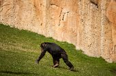 Chimpanzee In Lisbon Zoo