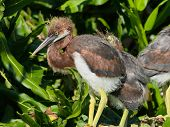 Young Tricolored Heron