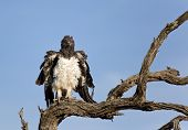 Martial Eagle (Polemaetus bellicosus), Kruger National Park