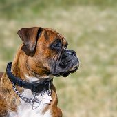 Family Pet, Boxer