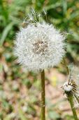 Parachutes And Seed Head Of Dandelion