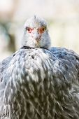 One Southern Screamer (chauna Torquata)