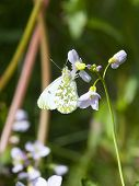 Female Orange Tip Butterfly