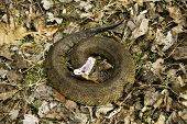 Cottonmouth snake showing classic threat display