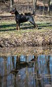 doberman pinscher standing by waters edge with reflection