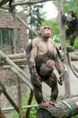 Chimpanzee in zoo
