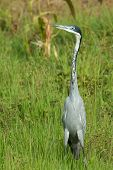 Black-headed Heron (ardea Melanocephala) Standing Erect In Green Grass