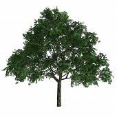 Tree Aesculus Glabra