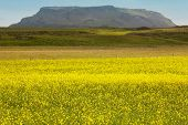 Iceland. Yellow Flowers, Green Field And Mountain