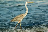 pic of florida-orange  - A graceful Great Blue heron walking along a Florida beach searching for food.