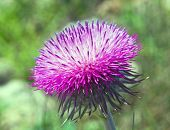 Bush Of A Burdock