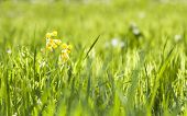 image of cowslip  - Yellow cowslip or primrose flower grow in grass at spring or summer - JPG