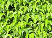 Green ficus leaves texture background