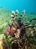 Entangled lionfish