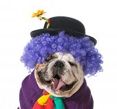 silly dog wearing clown costume on white background - english bulldog
