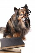 image of sheltie  - Sheltie or Shetland Sheepdog wearing a tie and glasses laying by a pile of text books - JPG