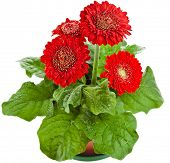 gerbera flowers Durora in flowerpot isolated on white background