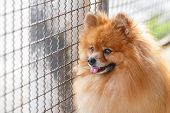 Pomeranian Dog Waiting For Owner To Come Home
