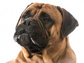 bullmastiff drooling on white background