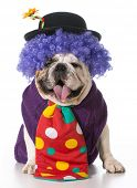 silly dog wearing clown costume on white background
