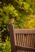 stock photo of robin bird  - Small robin bird sitting on the bench in a park