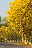 Tabebuia tree blooms in yellow in spring in thailand