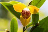 Devil tree or Melodorum fruticosum Lour is yellow flower has redolence