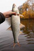Big asp in fisherman's hand, european predatory fish