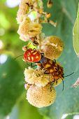 sex  of shield bug