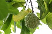 Custard Apple Fruit In Thailand