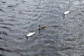 Swan With Family Swims At Triver Rhine